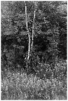 Birch and maple in early growth successional forest. Katahdin Woods and Waters National Monument, Maine, USA ( black and white)