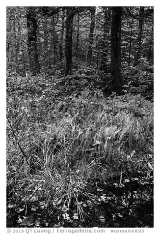 Pond, ferms and hardwood forest. Katahdin Woods and Waters National Monument, Maine, USA (black and white)