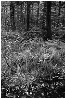 Pond, ferms and hardwood forest. Katahdin Woods and Waters National Monument, Maine, USA ( black and white)
