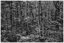 Deciduous northern hardwood forest in autumn. Katahdin Woods and Waters National Monument, Maine, USA ( black and white)