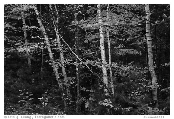 Early forest with birch trees in autumn. Katahdin Woods and Waters National Monument, Maine, USA (black and white)