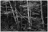 Early forest with birch trees in autumn. Katahdin Woods and Waters National Monument, Maine, USA ( black and white)