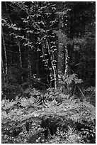 Colorful ferns and leaves. Katahdin Woods and Waters National Monument, Maine, USA ( black and white)