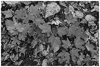 Close-up of autumn leaves. Katahdin Woods and Waters National Monument, Maine, USA ( black and white)