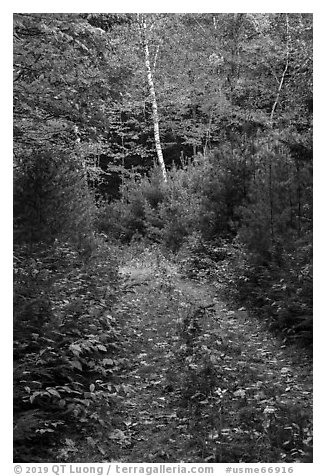 Overgroth former Wassatotaquoik Road. Katahdin Woods and Waters National Monument, Maine, USA (black and white)
