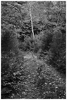 Overgroth former Wassatotaquoik Road. Katahdin Woods and Waters National Monument, Maine, USA ( black and white)