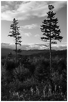Two spruce trees standing tall above early hardwoods. Katahdin Woods and Waters National Monument, Maine, USA ( black and white)