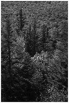 Spruce and northern hardwood forest in autumn. Katahdin Woods and Waters National Monument, Maine, USA ( black and white)