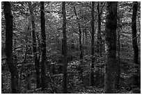 Mature softwood forest, Barnard Mountain. Katahdin Woods and Waters National Monument, Maine, USA ( black and white)