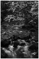 Branches in autumn foliage overhanging above Katahdin Brook. Katahdin Woods and Waters National Monument, Maine, USA ( black and white)