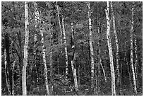 Birch trees and colorful autumn foliage. Katahdin Woods and Waters National Monument, Maine, USA ( black and white)
