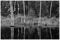 Dead trees reflected in Fist Marsh. Katahdin Woods and Waters National Monument, Maine, USA ( black and white)