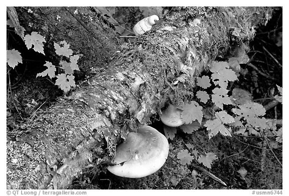 Log and mushroom, Grand Portage State Park. Minnesota, USA (black and white)