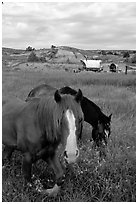 Horses and wagon. North Dakota, USA ( black and white)