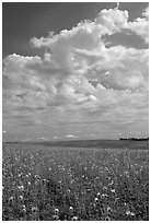 Field with sunflowers and clouds. North Dakota, USA (black and white)