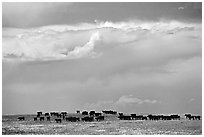 Open pasture with cows and clouds. North Dakota, USA ( black and white)