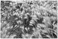 Close-up of Barley grass. North Dakota, USA ( black and white)