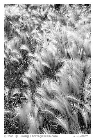 Barley grass and wind. North Dakota, USA (black and white)