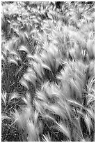 Barley grass and wind. North Dakota, USA ( black and white)