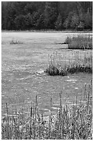 Reeds and frozen pond. Walpole, New Hampshire, USA (black and white)