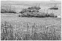 Reeds and frozen water. Walpole, New Hampshire, USA ( black and white)