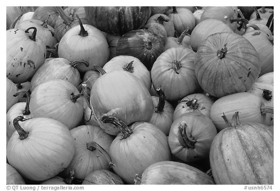 Pumpkins. New Hampshire, USA (black and white)