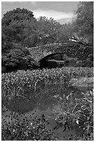Aquatic plants and stone bridge, Central Park. NYC, New York, USA ( black and white)