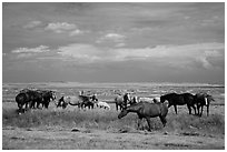 Free range horses, Pine Ridge Indian Reservation. South Dakota, USA ( black and white)