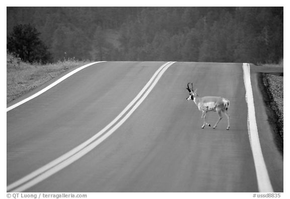 Pronghorn antelope crossing road, Custer State Park. Black Hills, South Dakota, USA (black and white)