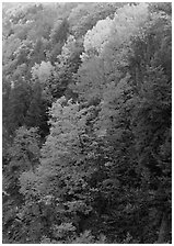Multicolored trees on hill, Quechee Gorge. Vermont, New England, USA ( black and white)