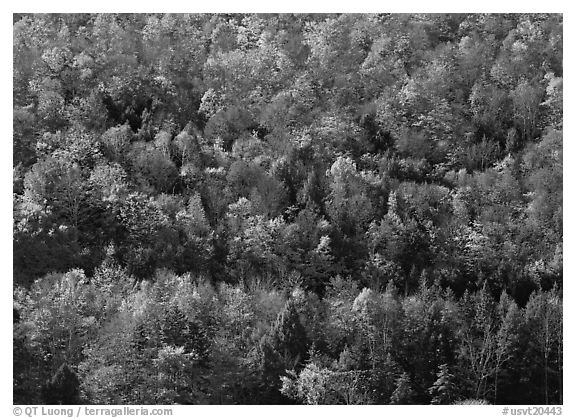 Hillside with trees in colorful fall foliage. Vermont, New England, USA (black and white)