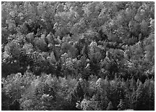 Hillside with trees in colorful fall foliage. Vermont, New England, USA ( black and white)
