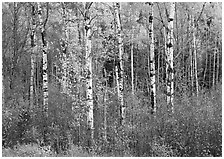 Birch trees and yellow leaves. Vermont, New England, USA (black and white)