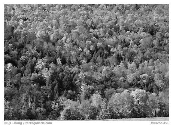 Hillside with trees in brilliant fall foliage. Vermont, New England, USA (black and white)