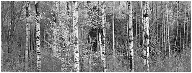 Forest scenery in autumn. Vermont, New England, USA (Panoramic black and white)