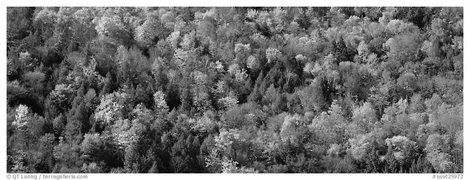 Trees in multicolored foliage on hillside. Vermont, New England, USA (black and white)
