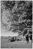 Maple tree and Jenne Farm. Vermont, New England, USA (black and white)