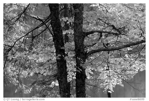 Maple in fall colors. Wisconsin, USA (black and white)