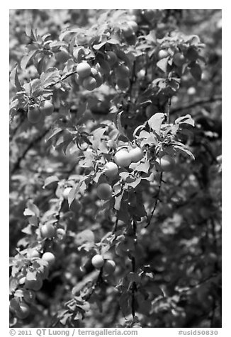 Branches with cherry plums. Hells Canyon National Recreation Area, Idaho and Oregon, USA (black and white)