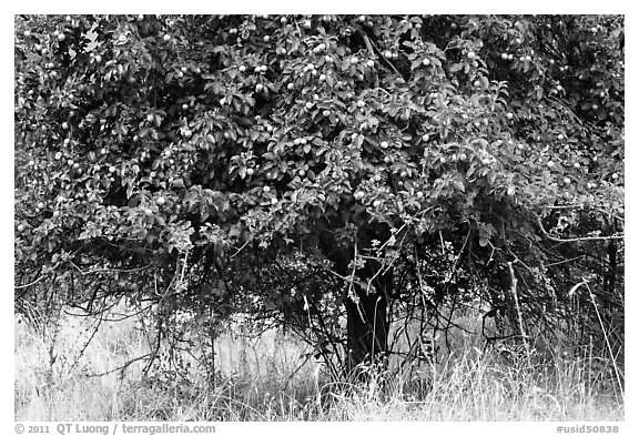 Plum tree. Hells Canyon National Recreation Area, Idaho and Oregon, USA (black and white)