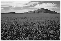 Field of yellow colza flowers and hill. Idaho, USA ( black and white)