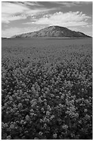 Field of colza and hill. Idaho, USA ( black and white)