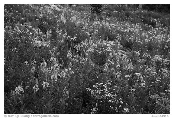 Meadow with fireweed, Face Trail. Jedediah Smith Wilderness,  Caribou-Targhee National Forest, Idaho, USA (black and white)