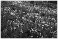 Meadow with fireweed, Face Trail. Jedediah Smith Wilderness,  Caribou-Targhee National Forest, Idaho, USA ( black and white)