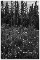 Dense wildflowers and trees, Face Trail. Jedediah Smith Wilderness,  Caribou-Targhee National Forest, Idaho, USA ( black and white)