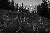 Fireweed and mountains, Face Trail. Jedediah Smith Wilderness,  Caribou-Targhee National Forest, Idaho, USA ( black and white)