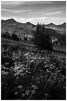 Cow parsnip and mountains, Face Trail. Jedediah Smith Wilderness,  Caribou-Targhee National Forest, Idaho, USA ( black and white)