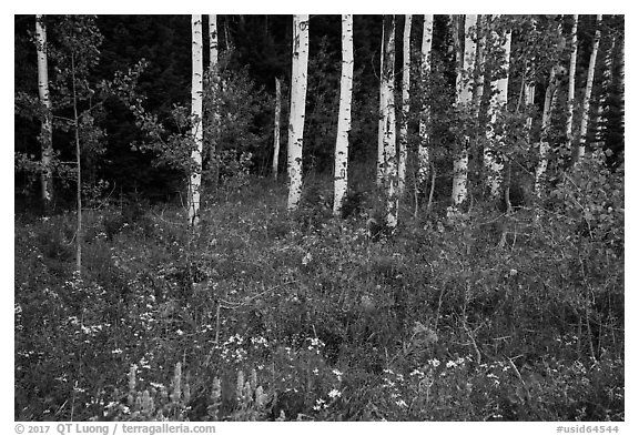 Wildflowers and aspen. Jedediah Smith Wilderness,  Caribou-Targhee National Forest, Idaho, USA (black and white)