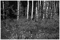 Wildflowers and aspen. Jedediah Smith Wilderness,  Caribou-Targhee National Forest, Idaho, USA ( black and white)