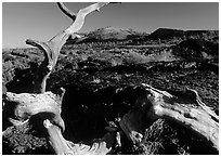 Tree skeleton and lava field, Craters of the Moon National Monument. Idaho, USA ( black and white)